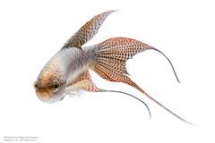 CH (Francis.Ho) Tags: fujifilm xt2 fauna fightingfish marco closeup blossoming pet bettasplendens underwater abstract fin tail movement motion visarute luxury elegant fish