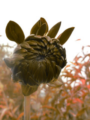Semaphore (Steve Taylor (Photography)) Tags: semaphore dahlia peachtree digitalart brown orange newzealand nz southisland canterbury christchurch northnewbrighton plant flower petals bokeh cloud