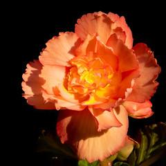 Unloved but happy (FocusPocus Photography) Tags: begonie begonia blume flower schwarzerhintergrund blackbackground