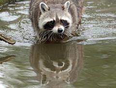 Raccoon Blijdorp JN6A6767 (j.a.kok) Tags: raccoon animal wasbeer mammal zoogdier dier predator blijdorp