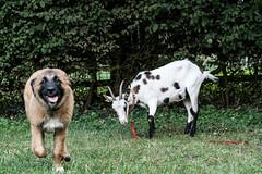 Three Goats against a Dog - Drei Ziegen gegen einen Hund 026_Web-compressed (berni.radke) Tags: three goats dog drei ziegen ziege gegen hund goat koza geit cabra capra cane perro cão hond chien kampf match spiel gevecht combat luta lucha struggle fight fighting game