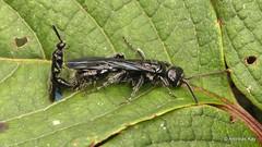 Mating flower wasps, Tiphiidae (Ecuador Megadiverso) Tags: andreaskay birdwatcherslodge ecuador hymenoptera mating mindo vespidae wasp tiphiidae