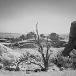 Dead tree, Devils Garden Loop, Arches National Park thumbnail
