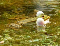 p1070866 (claudiopoli) Tags: animali animalia chordata amphibia anura ranidae ranaverde autouploadfilenamep1070866jpg