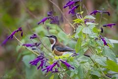 Just Passing DSC_1383 (BlueberryAsh) Tags: easternspinebill backyard birds salivia flowers spinebill craigieburn acanthorhynchustenuirostris nikond500 tamron150600