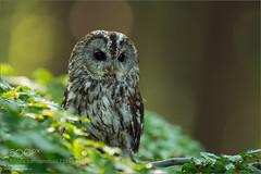 Tawny Owl (KevinBJensen) Tags: waldkauz strix aluco tawny owl chouette hulotte bosuil allocco cárabo común ohreulen und käuze strigidae beeinflusst nature photograph hans rentsch eulen greifvögel