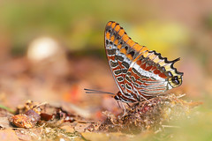 Two Tailed Pasha / Erdbeerbaumfalter (MC-80) Tags: two tailed pasha erdbeerbaumfalter charaxes jasius