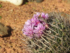 Cactus Country, Strathmerton 1426 (Lesley A Butler) Tags: victoria strathmerton cactuscountry cacti australia