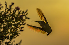 Acrobatic Act (Klaus Ficker --Landscape and Nature Photographer--) Tags: hummingbird bird animal sunset evening abendsonne sonnenuntergang colibri kentuckyphotography klausficker canon eos5dmarkiv usa
