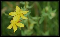 Dilluns amb flors i un bitxo/ Mondays with flowers and a bug (PURIFM) Tags: macro flower nature macromondays yellow flor naturaleza wild silvestre flowerandbug