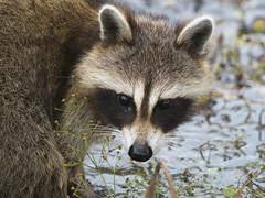 Raccoon (Procyon lotor) (Gavin Edmondstone) Tags: procyonlotor raccoon rondeauprovincialpark ontario mask