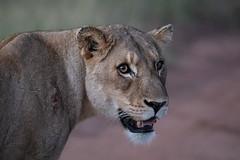 _Q4I3574-Edit (buddy4344) Tags: kambaku southafrica timbavati lion lioness
