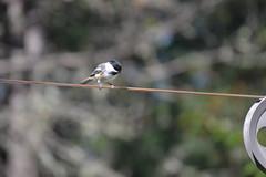 2018-09-10 Bird Watching 1 (s.kosoris) Tags: skosoris nikond3100 d3100 nikon bird birds chickadee camp huronian