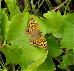 Speckled Wood butterfly (catb -) Tags: france lumix saintgeniès speckledwood macro butterfly parargeaegeria insect