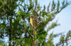 always a pleasure (long.fanger) Tags: americangoldfinch centreville virginia goldfinch utilityeasementarea