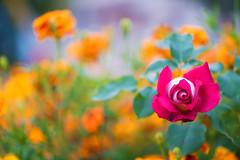 Ti_vedo (Danilo Mazzanti) Tags: danilo danilomazzanti mazzanti wwwdanilomazzantiit fotografia foto fotografo photos photography fiori macro composizione colori bellezza
