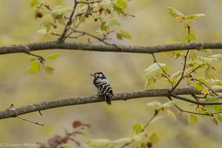 Pico menor,lesser spotted woodpecker(dendrocopos minor)
