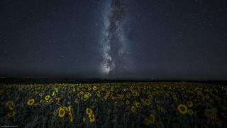 Milkyway, sunflowers and dark skies.