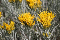 Rabbitbrush blooming in late summer, as is its wont (rozoneill) Tags: lassen volcanic national park peak sulphur works california