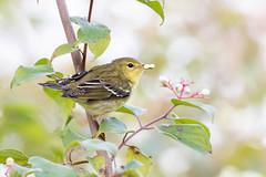 Blackpoll Warbler (zeroskilz) Tags: mike timmons aba indiana bird nature wildlife warbler miketimmons