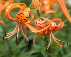 Orange Tiger Lilies (billcoo) Tags: lily garden 6d2 2 6dii lilium makro