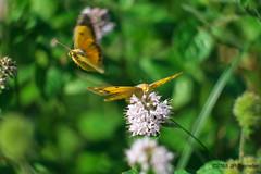 Soucis (jpto_55) Tags: papillon souci proxi xe1 fuji fujifilm hautegaronne france fujixf55200mmf3548rlmois
