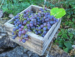 Harvest of our grapes (barbmz) Tags: grapes vine weintrauben ernte