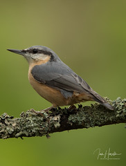 Nuthatch (Ian howells wildlife photography) Tags: ianhowells ianhowellswildlifephotography nature naturephotography nationalgeographic unitedkingdom canon canonuk wildlife wildlifephotography wales wild wildbird nuthatch