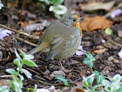 Young Robin (eric robb niven) Tags: ericrobbniven scotland dundee robin wildlife wildbird nature perthshire dunkeld birnam