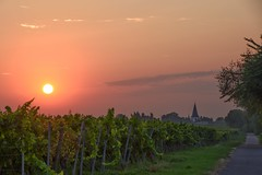 Sonnenaufgang im Weinberg / Sunrise in the vineyard (reipa59) Tags: sonnenaufgang sunrise morgensonne rhinehesse rheinlandpfalz rheinhessen dorf strase clouds sommer countryside landschaft nature aussichtspunkt earlymorning city rhinelandpalatinate architektur sonne cityscene summer sunbeams sunrays sun vineyards kirche cloud licht landscape vine morgenröte morgenrot kirchturm natur frühmorgens germany viewpoint turm light countryroads landstrase village sky dunst cityscape street chapel grün dawn himmel small earlymist dusty dach diesig building smallvillage sonnenstrahlen dust osthofen