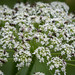 Blow Flies on the White Flowers