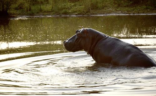 NKB_3297_Hippo