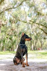 Florida dog (Laughing Dogs) Tags: geminispringspark florida dobermanpinscher doberman woof dogs dog