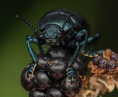 Bloody-nosed Beetle (Timarcha tenebricosa) (Chambers35th) Tags: beetle bugs bug beetles insects insect invertebrates invertebrate invert nikon wildlife sigma wildlifephotography macro macrophotography macrodreams macros closeup uk berry blue beautiful