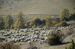 Pacage automnal (RarOiseau) Tags: hautesalpes troupeau mouton automne ancelle col coldemoissière brebis parcnationaldesécrins littledoglaughedstories