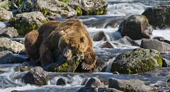 Bear's rest in the river (paolo_barbarini) Tags: kamchatka orsi bears animali animals mammals wildlife acqua water rest nationalgeographic animalplanet