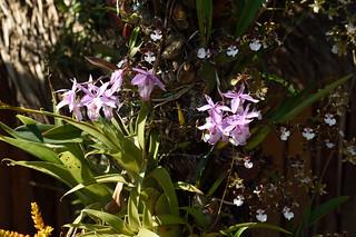 Barkeria spectabilis and Oncidium leucochilum in a garden