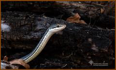 (Explored) Sonoran Whipsnake ©Dancing Snake Nature Photography (Dancing Snake Nature Photography) Tags: arizona nature photography dancingsnakenaturephotography reptiles sonoranwhipsnake maderacanyon