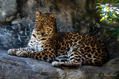 DSC_0690 (tspottr723) Tags: amur leopard resting cat feline big west orange nj new jersey essex county nikon d500 tamron 150600 zoo large spots endangered species