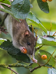 Rat up high (ukmjk) Tags: rat tree berry nikon nikkor d500 300mm tc14e2 pf vr staffordshire stoke parkhall