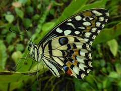 The Swallowtail Butterfly (Steve Taylor (Photography)) Tags: swallowtailbutterfly closeup macro insect butterfly colourful singapore asia