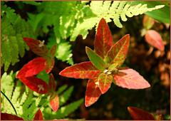 DSC_4651 (FMAG) Tags: 201809 dzialka kwiatki macro leaf leaves