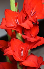 DSC_1573 Gladioli (PeaTJay) Tags: nikond750 sigma reading lowerearley berkshire macro micro closeups gardens indoors nature flora fauna plants flowers bouquet gladioli