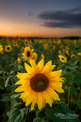 Golden sunset ... (Mike Ridley.) Tags: sunflower sunset sunflowerfield northumberland flower nature mikeridley sonya7r2