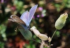 Bläuling (Hugo von Schreck) Tags: hugovonschreck schmetterling butterfly macro makro insect insekt bläuling canoneos5dsr tamron28300mmf3563divcpzda010