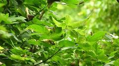 Magnolia Warbler_6741.mp4 (Henryr10) Tags: south80 mariemontoh mariemontsouth80trails littlemiamiconservancy littlemiamiriver magnoliawarbler songbird warbler setophagamagnolia setophaga avian bird vogel ibon oiseau pasare fågel uccello tékklistar mawa