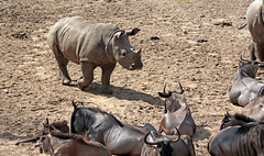 white rhino and Gnu´s Burgerszoo JN6A8485 (j.a.kok) Tags: gnoe wildebeast gnu witbaardgnoe oostelijkewitbaardgnoe antilope blauwegnoe whitebeardedgnu animal africa afrika burgerszoo burgerzoo mammal zoogdier dier rhino rhinoceros witteneushoorn whiterhino breedlipneushoorn