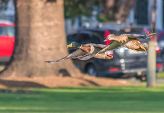 A pair of Flying Mallard Ducks (Merrillie) Tags: duck nature australia birds bill newsouthwales animal nsw mallard eyes wildlife feathers woywoy pair bird waterbird outdoors green eye centralcoast fauna twoofakind