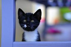_DSC9780b (Raphistole) Tags: kitty cat chat chaton d7000 50mm f14 nikon nikkor bokeh kitten