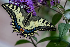 Swallowtail (MacGeizer) Tags: papilio machaon common yellow swallowtail old world butterfly vlinder insect koninginnenpage nature